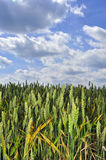 黑麦天空 库存图片