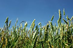 黑麦或麦子和蓝天,美丽的乡下草甸的领域 库存图片