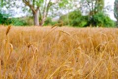 黑麦的域 免版税库存图片