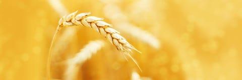黑麦的成熟耳朵在领域的在收获农业夏天期间环境美化 农村场面 宏指令 全景的图象 免版税库存照片