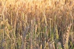 黑麦的成熟耳朵 免版税库存图片