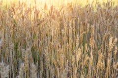 黑麦的成熟耳朵 免版税图库摄影