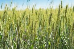 黑麦的绿色领域在夏天太阳的 库存图片
