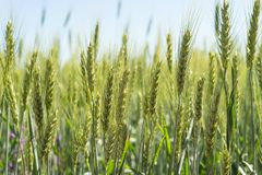 黑麦的绿色领域在夏天太阳的 图库摄影