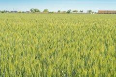 黑麦的绿色领域在夏天 图库摄影