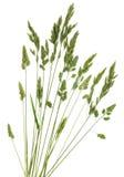 黑麦草 免版税库存图片