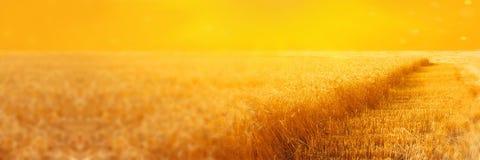 黑麦领域风景与二面对切的小条的在收获在日落期间 夏天农业农村背景 全景的图象 皇族释放例证