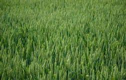黑麦麦子 免版税库存图片