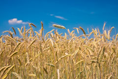 黑麦 库存照片