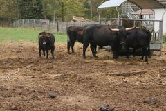 黑黄牛牧群在有孩子的农场 免版税图库摄影