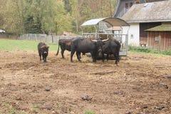 黑黄牛牧群在有孩子的农场 免版税库存图片