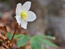 黑黎芦,春天,自然的先驱者 库存照片
