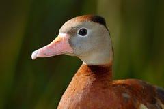 黑鼓起的吹口哨鸭子, Dendrocygna autumnalis,棕色鸟在水中在自然栖所前进,动物,哥斯达黎加 Du 库存照片