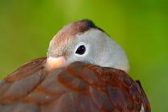 黑鼓起的吹口哨鸭子, Dendrocygna autumnalis, fbrown鸟在水中在自然栖所前进,动物,哥斯达黎加 d 免版税库存图片