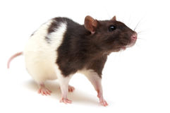 黑鼠白色 库存照片