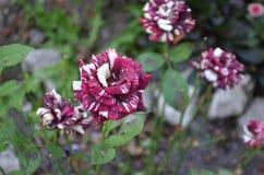 黑龙是在庭院里增长的玫瑰 库存照片