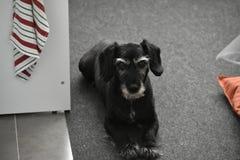 黑,灰色和白色狗 免版税库存图片