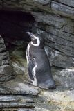 黑&白色企鹅 免版税库存照片