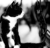 黑&白色猫 免版税库存照片