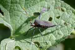 黑bughemiptera的图象在一片绿色叶子的 昆虫 敌意 库存照片