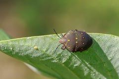 黑bughemiptera的图象在一片绿色叶子的 昆虫 库存图片