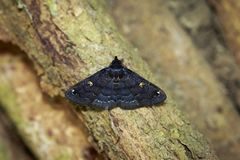 黑butterflyMoth的图象在树的 昆虫 敌意 图库摄影