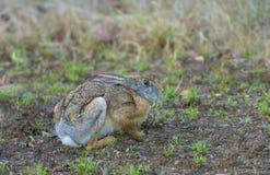 黑naped野兔,Tadoba国立公园,钱德拉布尔县,马哈拉施特拉,印度 免版税库存图片