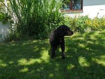 黑puddel狗 免版税库存图片