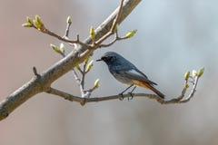 黑redstart,男性,栖息在有叶蕾的枝杈 库存图片