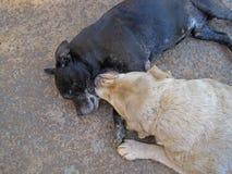 黑STAFFORSHIRE狗和金黄拉布拉多狗在嬉戏的心情 免版税库存照片