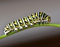 黑Swallowtail毛虫-蝴蝶幼虫 库存图片