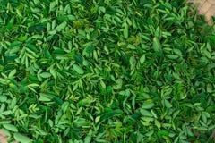 鼓槌绿叶在板材关闭视图令人敬畏的短冷期生叶收集 库存图片