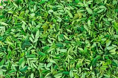 鼓槌绿叶在板材关闭视图令人敬畏的短冷期生叶收集 库存照片