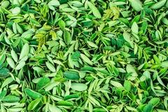 鼓槌绿叶在板材关闭视图令人敬畏的短冷期生叶收集 免版税库存图片