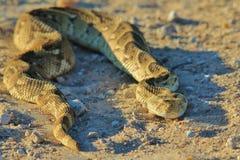 鼓腹毒蛇-从非洲的蛇背景-美好的危险 图库摄影