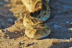 鼓腹毒蛇-从非洲的蛇背景-美好的重音和威逼 图库摄影