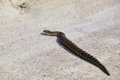 鼓腹毒蛇 库存照片