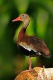 黑鼓起的吹口哨鸭子, Dendrocygna autumnalis, fbrown鸟在水中在自然栖所前进,动物,哥斯达黎加 d 图库摄影