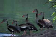 黑鼓起的吹哨的鸭子,特立尼达 图库摄影