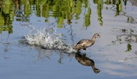 黑鼓起的吹哨的鸭子离开 免版税库存照片