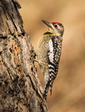 鼓起的啄木鸟黄色 图库摄影