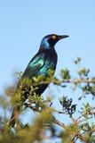 黑鼓起的椋鸟科(Lamprotornis corruscus) 免版税图库摄影