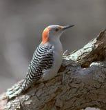 鼓起的母红色啄木鸟 免版税库存照片