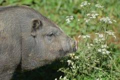 鼓起的猪罐 图库摄影