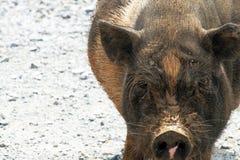 鼓起的猪罐 免版税图库摄影