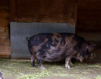 鼓起的猪罐 库存照片