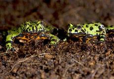 鼓起的瓷火青蛙绿色东方人蟾蜍 免版税库存照片