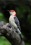 鼓起的红色啄木鸟 免版税库存照片