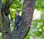 鼓起的红色啄木鸟 免版税库存图片
