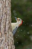 鼓起的红色啄木鸟 库存照片